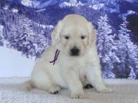 Our English Cream Golden Retriever Puppies were born on