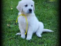We have 3 beautiful AKC English Cream Golden Retriever