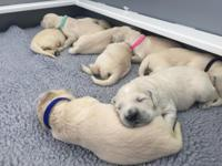 Litter of English Cream Golden Retrievers born upon