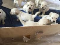 We have a litter of 10 pure reproduced puppies.