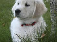 English cream golden retriever young puppies. Our dogs
