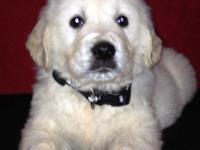 We have English Cream Golden Retriever puppies for