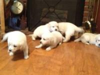 We have a Beautiful Litter of AKC English Cream Golden