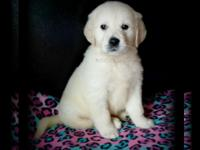 Full English Cream Golden Retriever Puppies AKC reg.