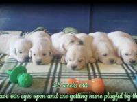 Home raised, AKC English Golden Retriever puppies born