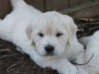 Absolutely Beautiful English Cream Puppy. Only one male