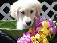 TOBI, is a Rare & BEAUTIFUL, AKC English Cream Golden