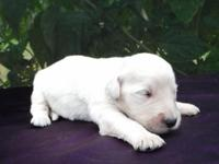 True English Cream Goldendoodles born July 24, from