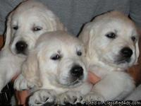 White Golden Retreivers.  Beautiful dogs.