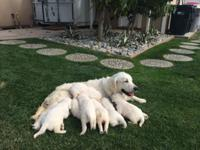 Available are 6 English Creme Golden Retriever young
