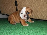 I have a lovely English women Bulldog puppy available.