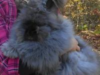 I have 8 angora babies available. There are 4 blacks, 3