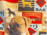 Male English / French hybrid bulldog 9 weeks old. Last