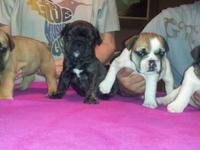 Frenglish Bulldog puppies 4 sale. The father is full