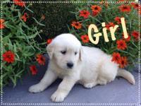 6 English cream golden retrievers. Very playful puppies