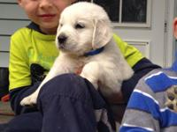 100 % English Golden Retriever puppies. Dad has huge