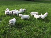 Full English Golden Retriever puppies. Sire has