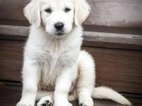 We have a awesome litter of English Golden Retrievers