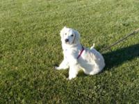 ENGLISH GOLDEN RETRIEVER PUPPY, 18 WEEKS OLD, FEMALE