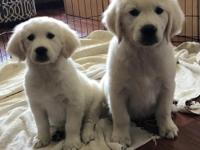 I have English Cream Golden Retriever Puppies. They are