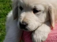 English Cream Golden Retrievers puppies, purebred. With