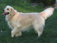 Blakley is a AKC Registerable English golden baby girl.