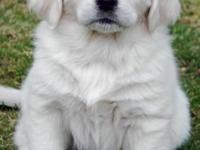 "Our AKC Registered English Golden ""Penelope had her"
