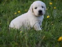 *AKC registered * Introducing Luna and Rolex puppies!