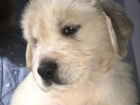 Hobbies breeder my golden pups are born in my home an