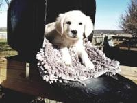 AKC English Cream Golden's - litter of 12 - 5 females