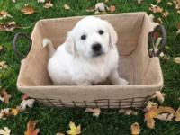 We have two male English golden retriever puppies. They