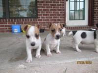 Adorable English( Short leg) Jack Russell Puppies- 3