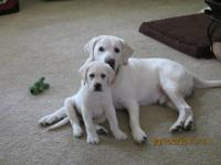 I have English Lab puppies chocolate and light almost