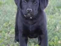 Everest is one of 10 English black lab puppies and is