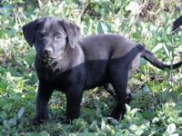 Terrain is one of 10 English black lab puppies and is