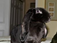English Lop - Bingo - Medium - Young - Female - Rabbit