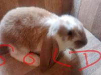 Two sweet adorable English lop bunnies available as
