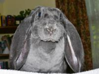 English Lop - Danyaeris - Medium - Young - Female -