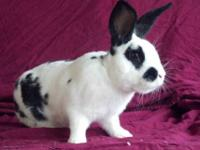 English Lop - Jim - Small - Adult - Male - Rabbit