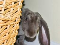 English Lop - Tatianna - Medium - Young - Female -