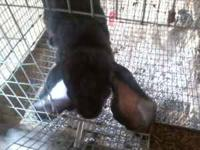 I have one pedigreed breeding pair of english lops for
