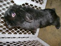 I have for sale 8 English Lop bunnies. Born on 5-26-12
