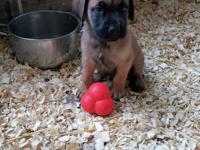 English Mastiff Puppies 1st shots well socialized Fawn.