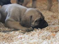 i just had a beatiful litter of ENGLISH MASTIFF fawn