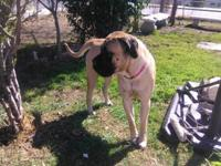 beautiful 3 year old female English Mastiff she's great
