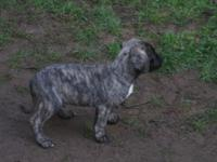 Old English Mastiff pups 8weeks as of March 29th. AKC
