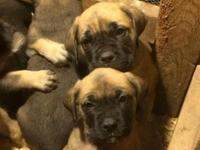 English Mastiff pups ready to go at the end of this