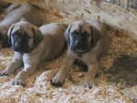 I have 9 English mastiff puppies all fawn 6 males 3