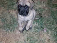 9 week old female English Mastiff full blood comes with