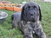 Brindle female she is 10 weeks old , has all shots and